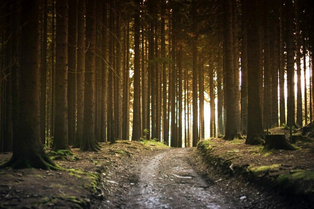 Waldweg mit vielen Bäumen